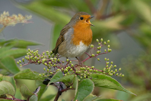 D684277 European Robin | by Nick Sidle