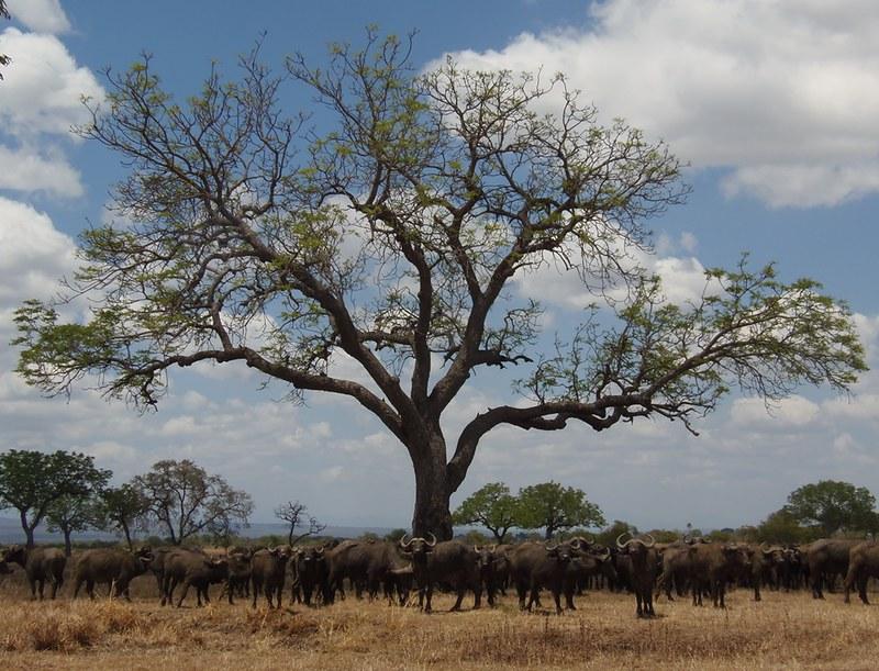 Buffalo herd in Mikumi