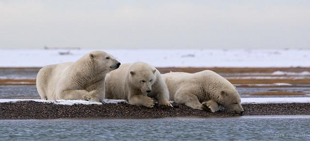 three polar bears sitting on ice