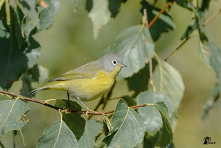 Nashville Warbler | by Ingersoll District Nature Club