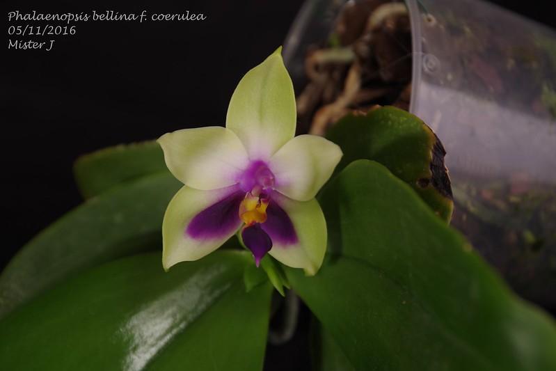 Phalaenopsis bellina f. coerulea 30750997816_1e4b6a1e21_c