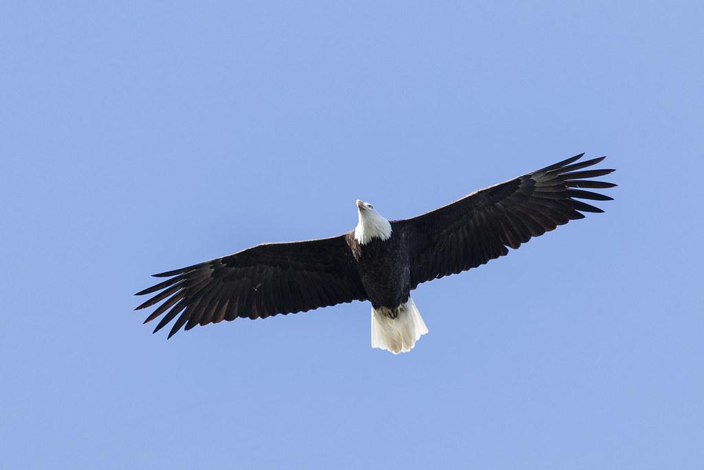 Bald Eagle Flight Above Haliaeetus Leucocephalus Los Osos Flickr