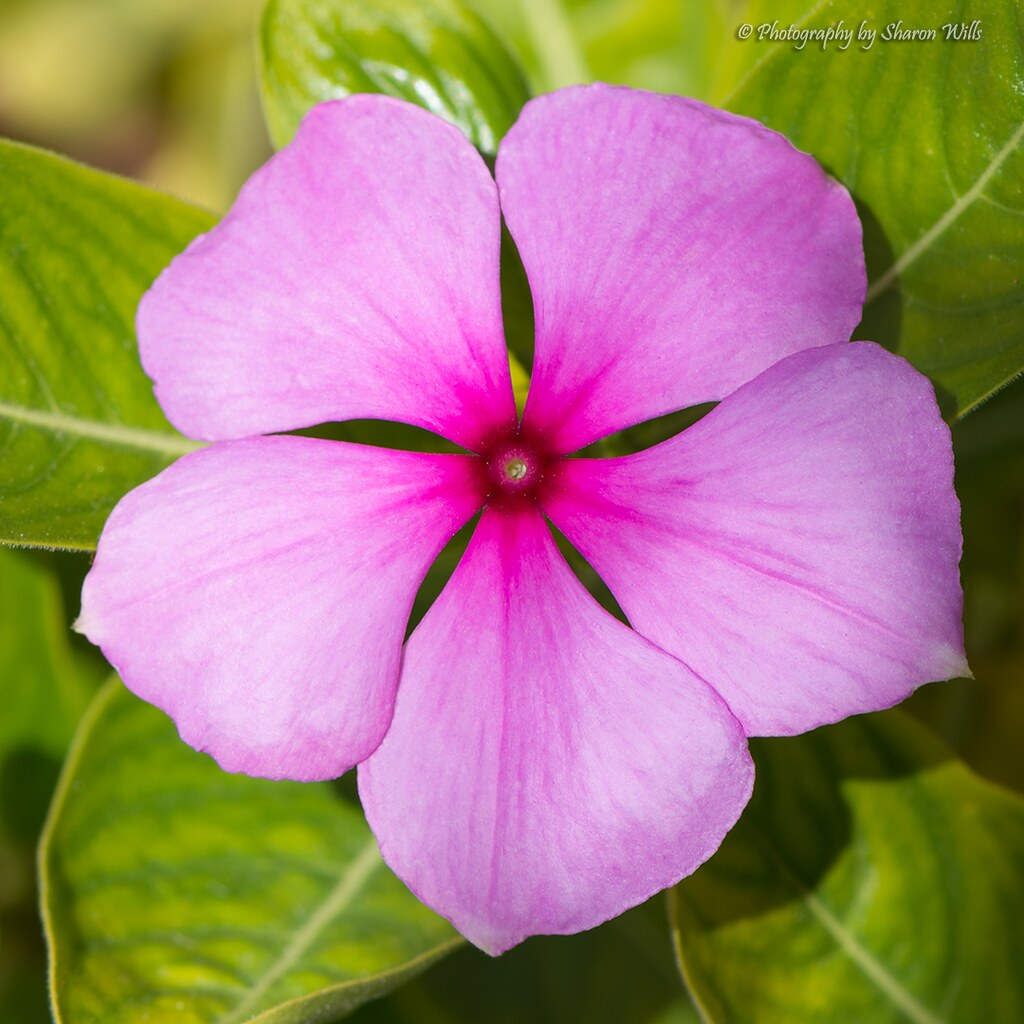 Catharanthus Roseus Flowers Rosy Periwinkle Catharanthus Flickr
