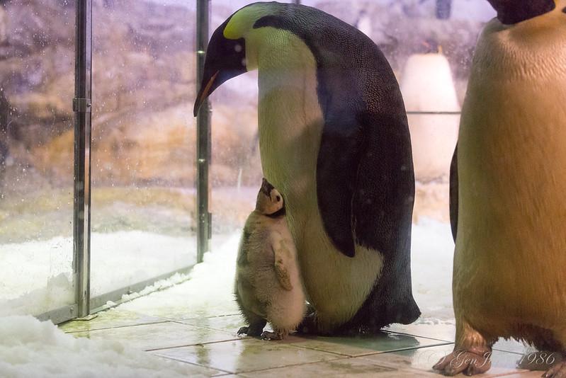 アドベンチャーワールド コウテイペンギンの赤ちゃん