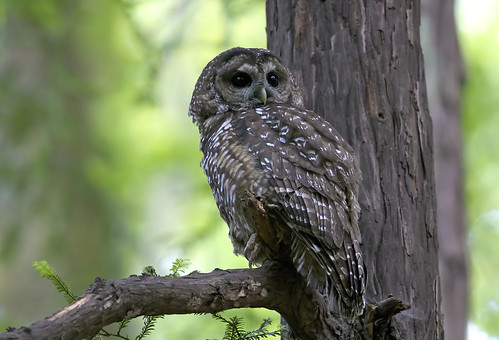 Northern Spotted Owl | by Omnitrigger