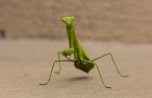 Praying Mantis | by Laura Erickson