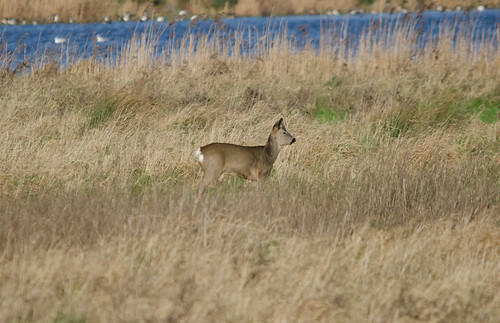 Roe Deer | by markhows