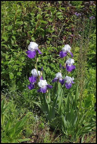 Iris 'Arpege' - Schreiner 1966 22480767932_dc0f0d2fb3