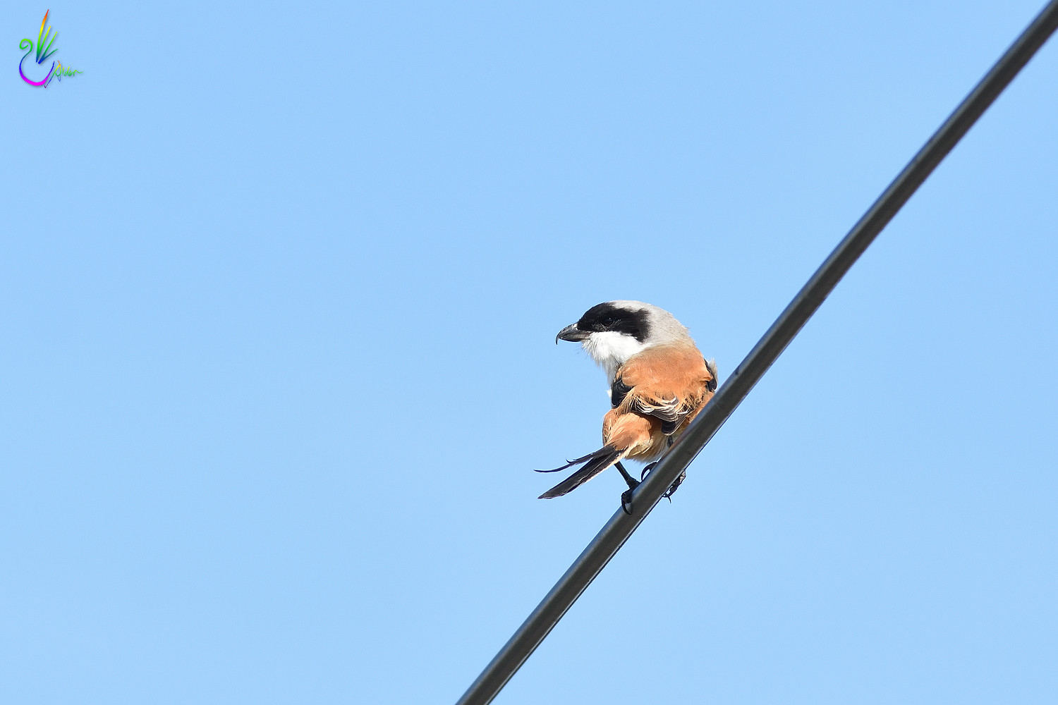Long-tailed_Shrike_9585