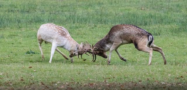 fallow deer rutting 065 (473)
