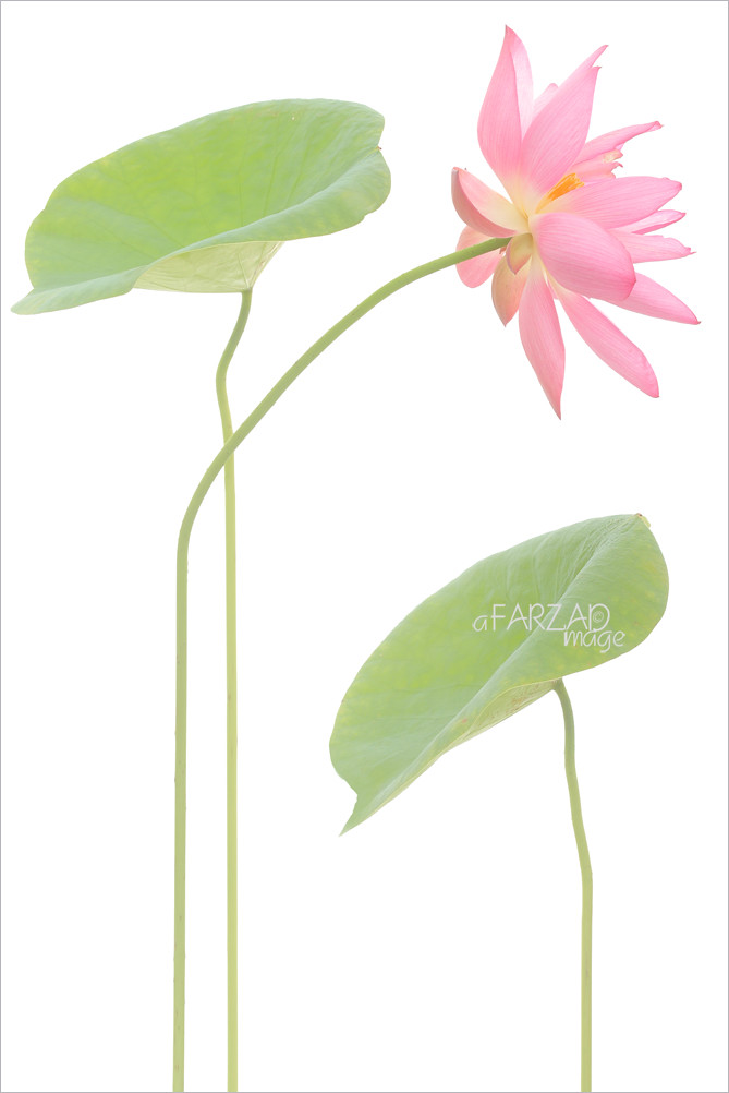 Pink Lotus Flower And Leaves On White A Graphic Treatmen Flickr