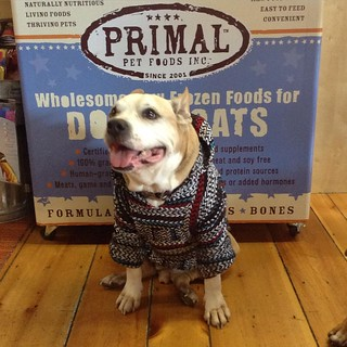 """Whhhaat?!? @primalpetfoods is sponsoring #trickforatreat #Howlaween contest? Count me in""-Gotti #primalpetfoods #dogsofmaine #dogstagram 