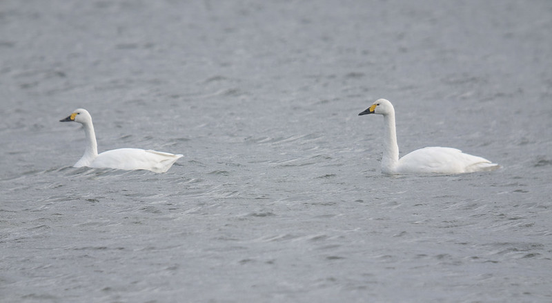 Bewick's Swans, Broom GP, 7th Nov 2016
