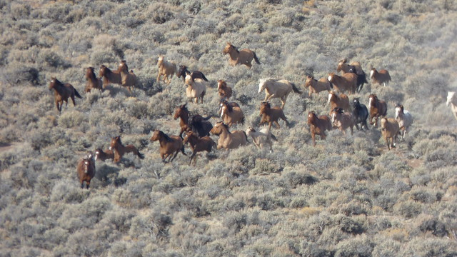 Beaty Butte wild horse gather, 2015