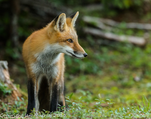 IMG_3543 Fox Kit - Still Around | by Wallace River