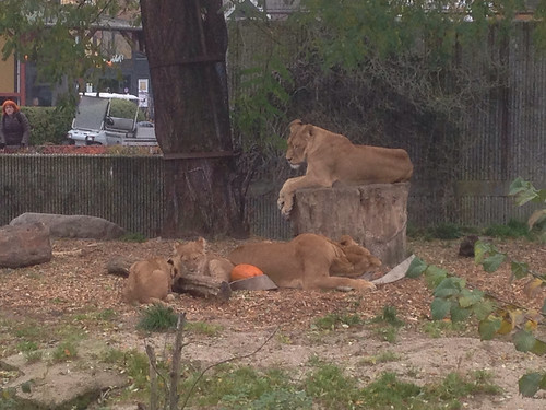 305/365 Lion family hanging out | by Anetq