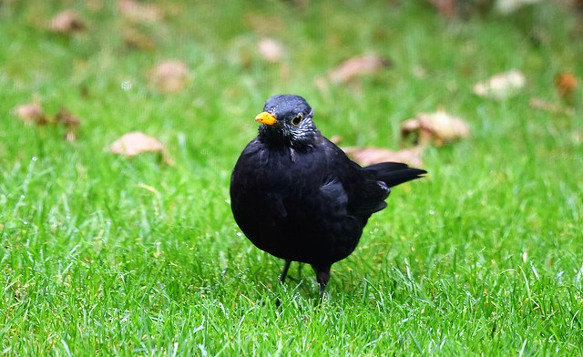 Male Blackbird 22.09 (8)