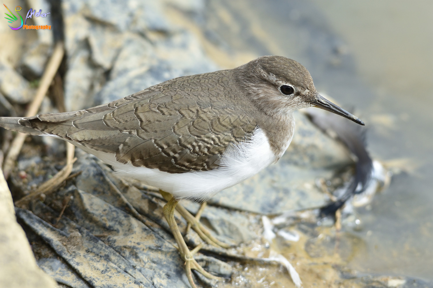 Common_Sandpiper_2773
