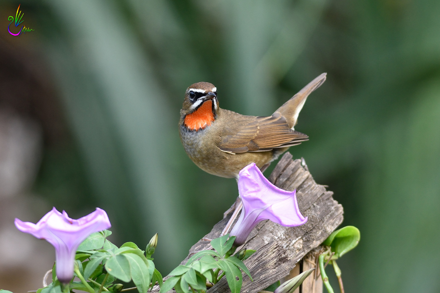 Rubythroat_2742