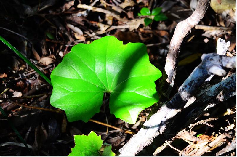 台灣山菊(葉)2
