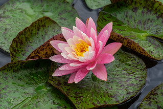 Water Lily | by Gregory Zenitsky | Witness of Light Photography