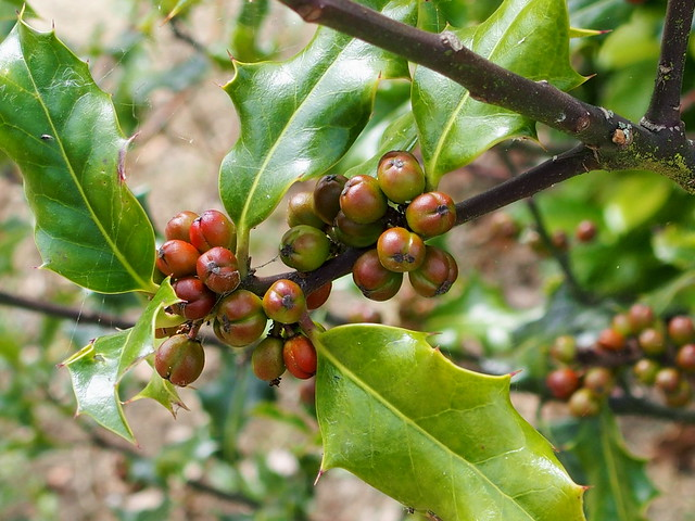 Decorating for Christmas with plants: Ripening holly berries