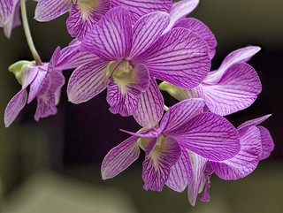 Dendrobium hybrid | by Don McClane