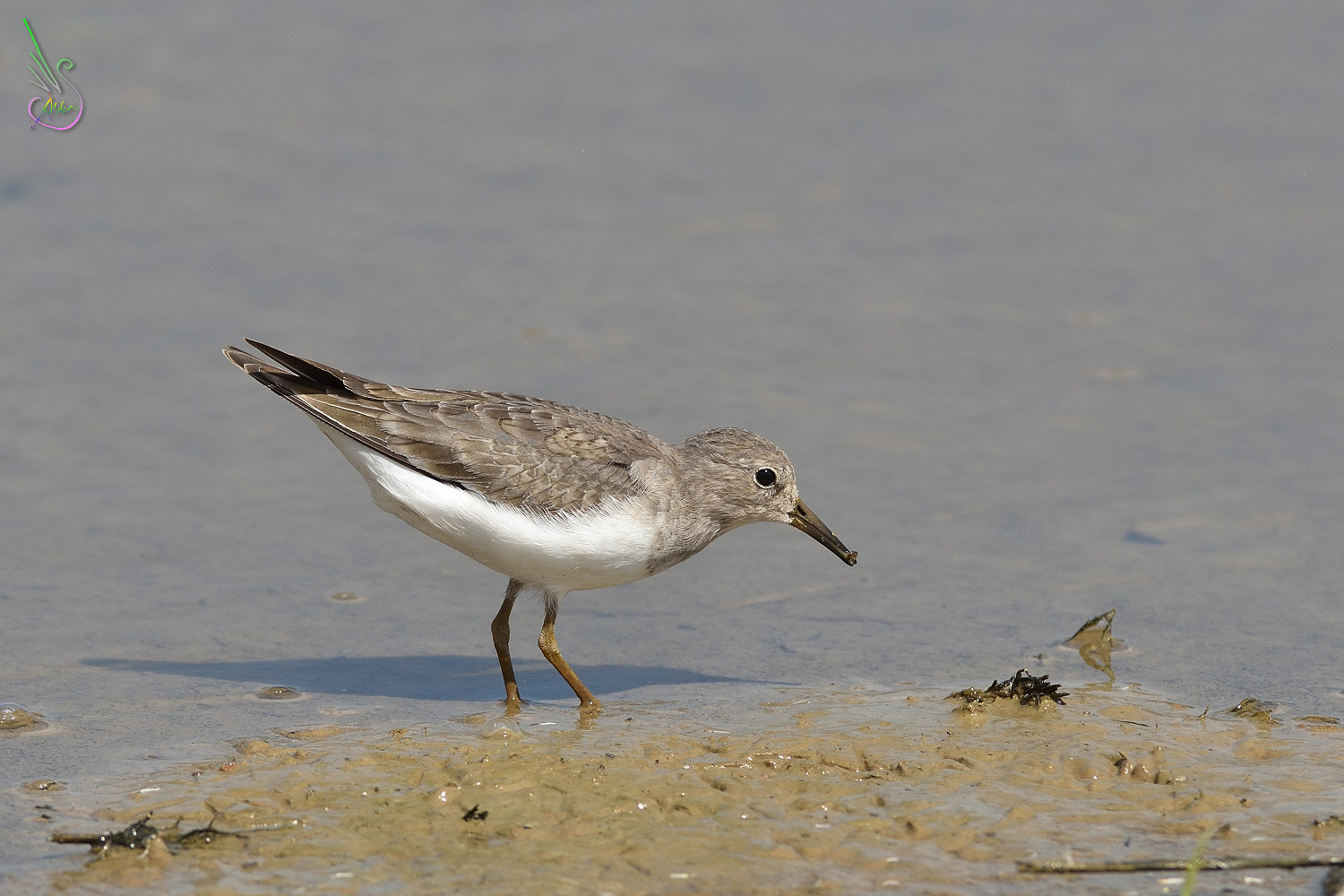 Temminck_Stint_0915