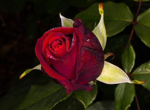 rose mildred scheel jbf 4967 john flower flickr. Black Bedroom Furniture Sets. Home Design Ideas