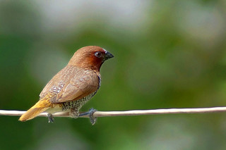 Munia | by yndesai