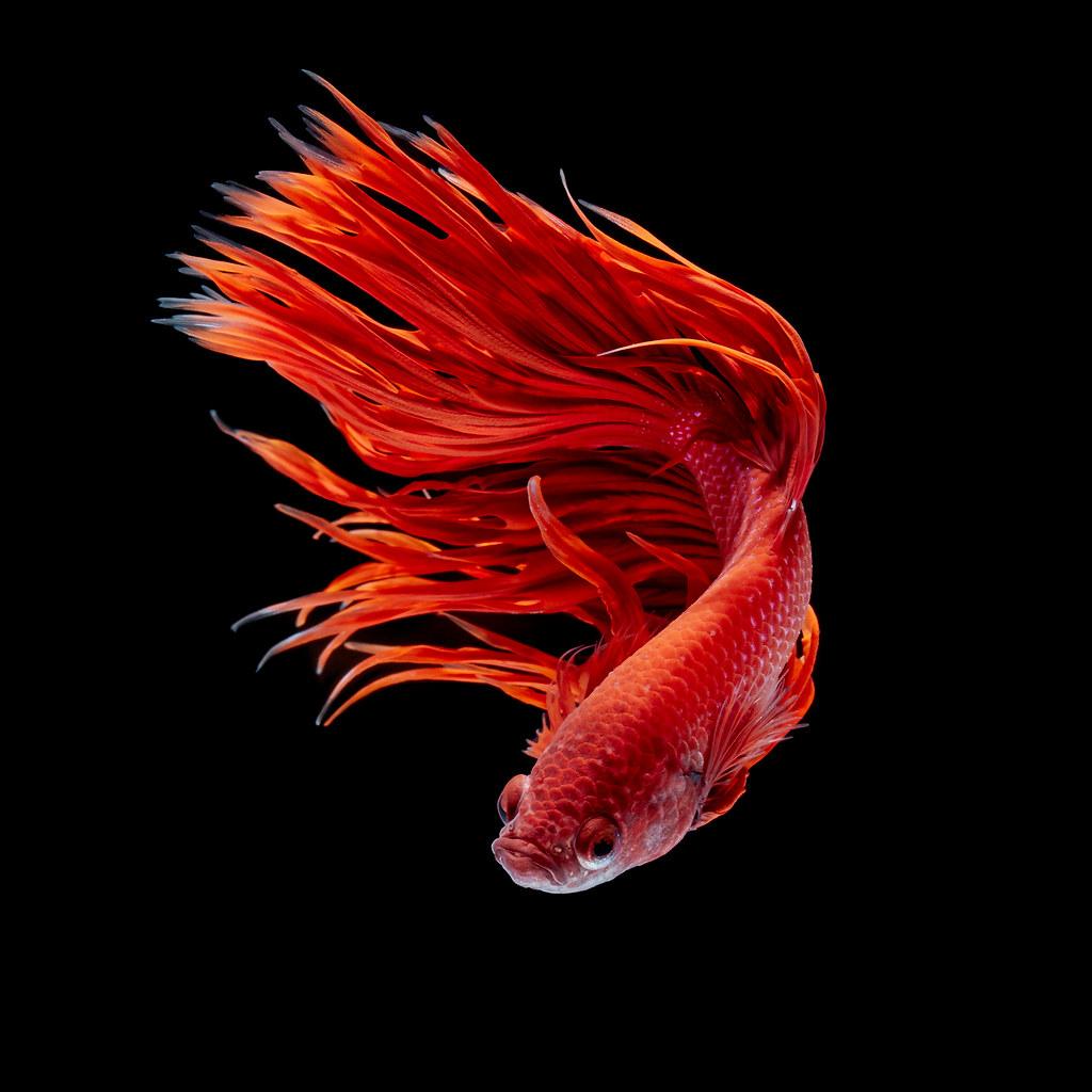 Betta fish | Betta fish, siamese fighting fish, betta splend ...