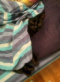 Toph, in her preferred hiding place: buried in blankets. | by domesticat