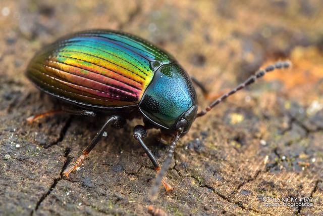 Darkling beetle (Amarygmus sp.) - PA120170