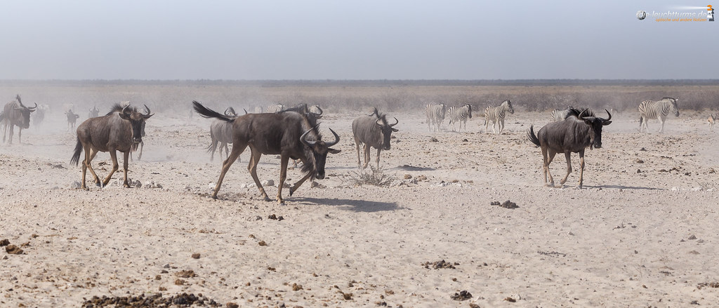 The daily run to the waterhole
