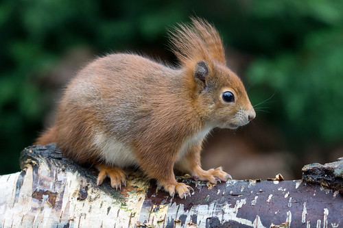 Red Squirrel | by hehaden