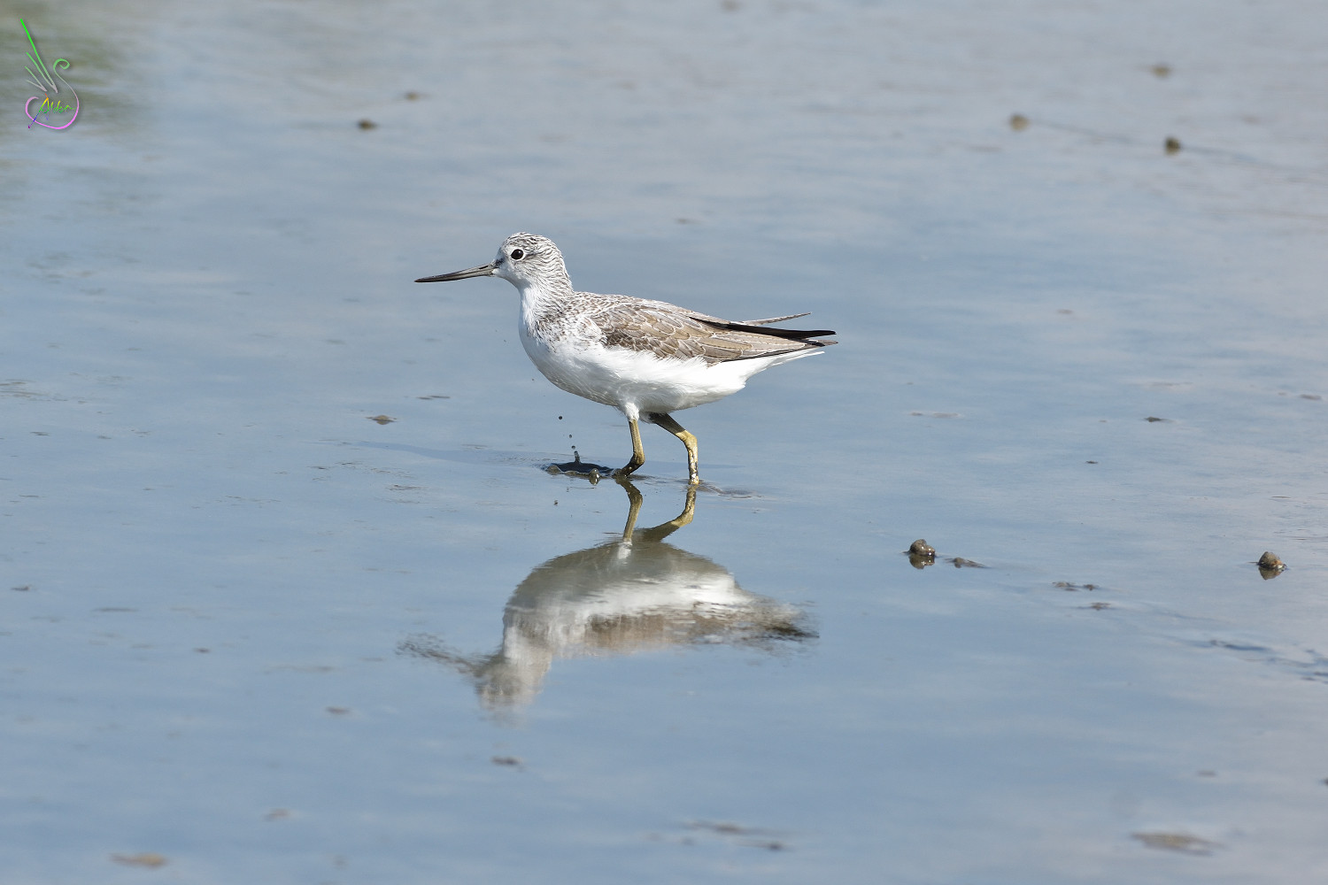 Common_Greenshank_1424
