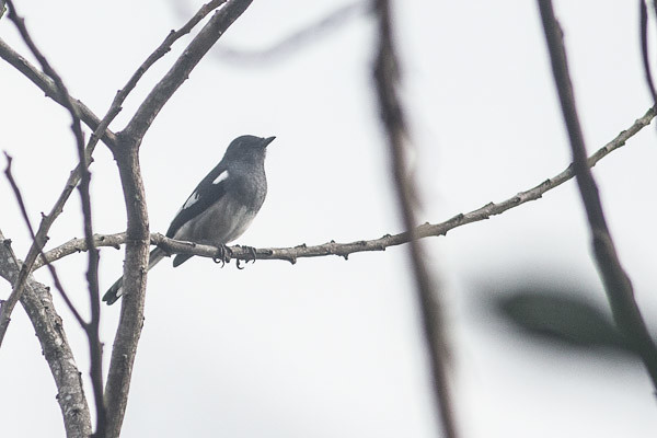 Black-and-White Bulbul