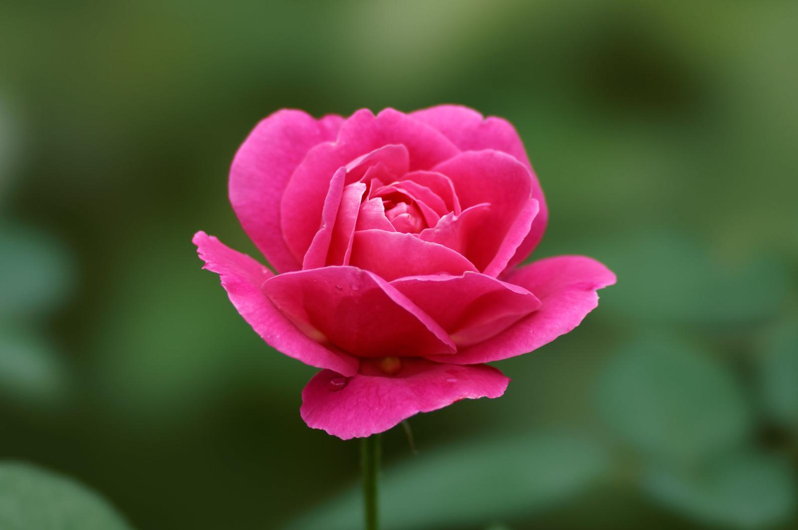 ピンク・ピース