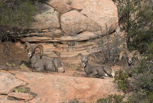 Desert Bighorn Sheep Ovis Canadensis Nelsoni It Was A