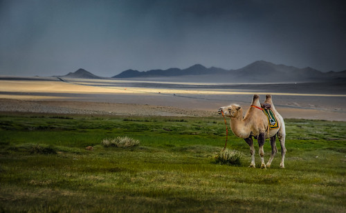 Lonely Camel | by Bernd Thaller