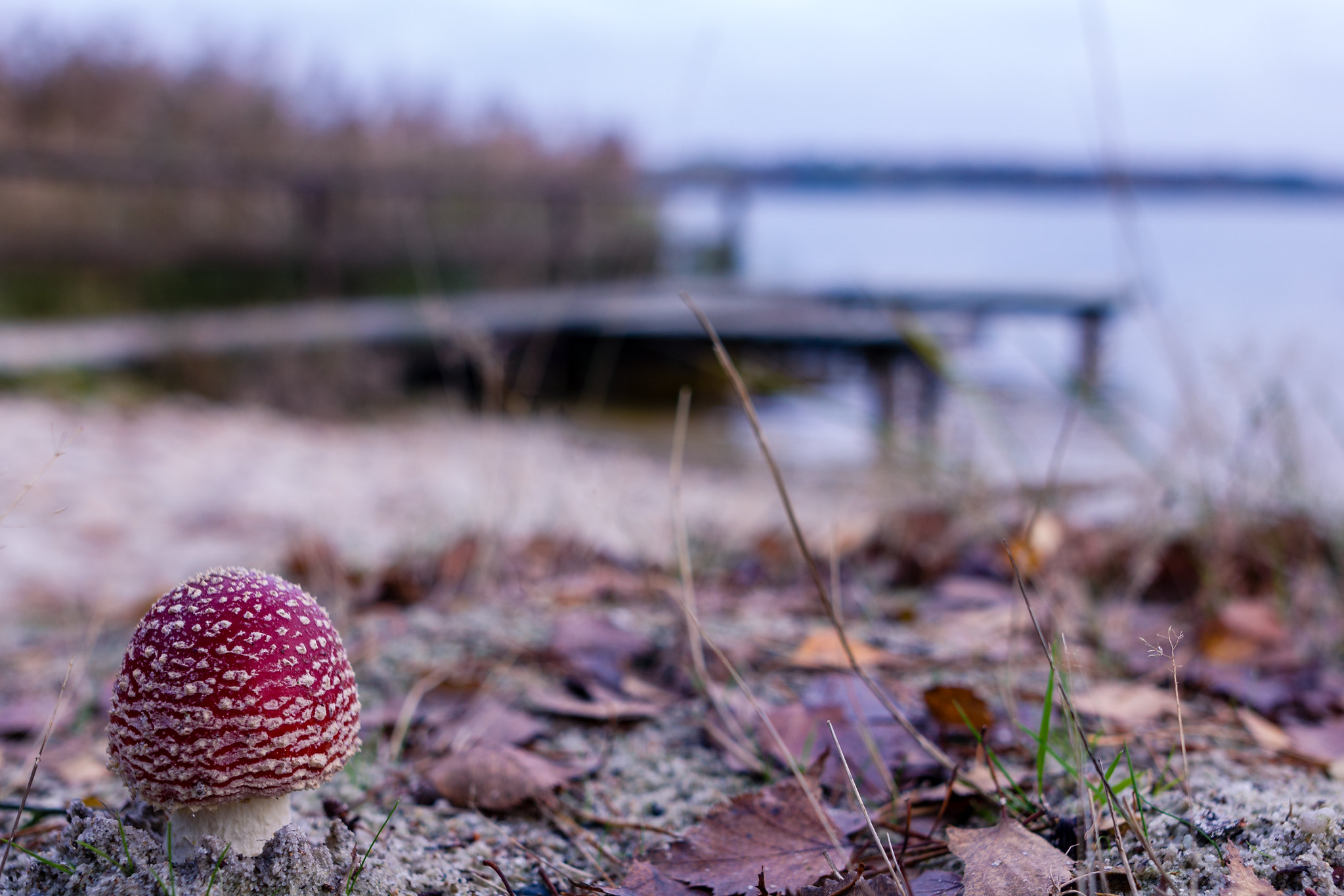 Fly agaric on a beach