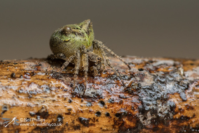 Gibbaranea gibbosa orb waver spider