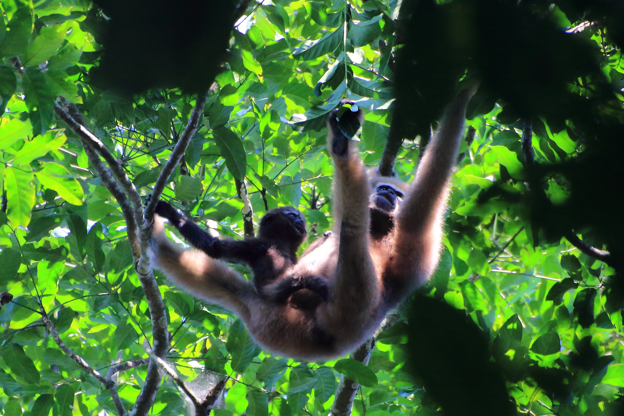 Mother Gibbon and child