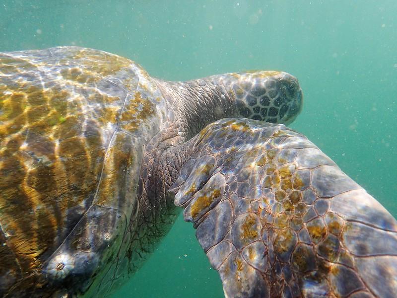 Buceando con las tortugas de Ñuro.