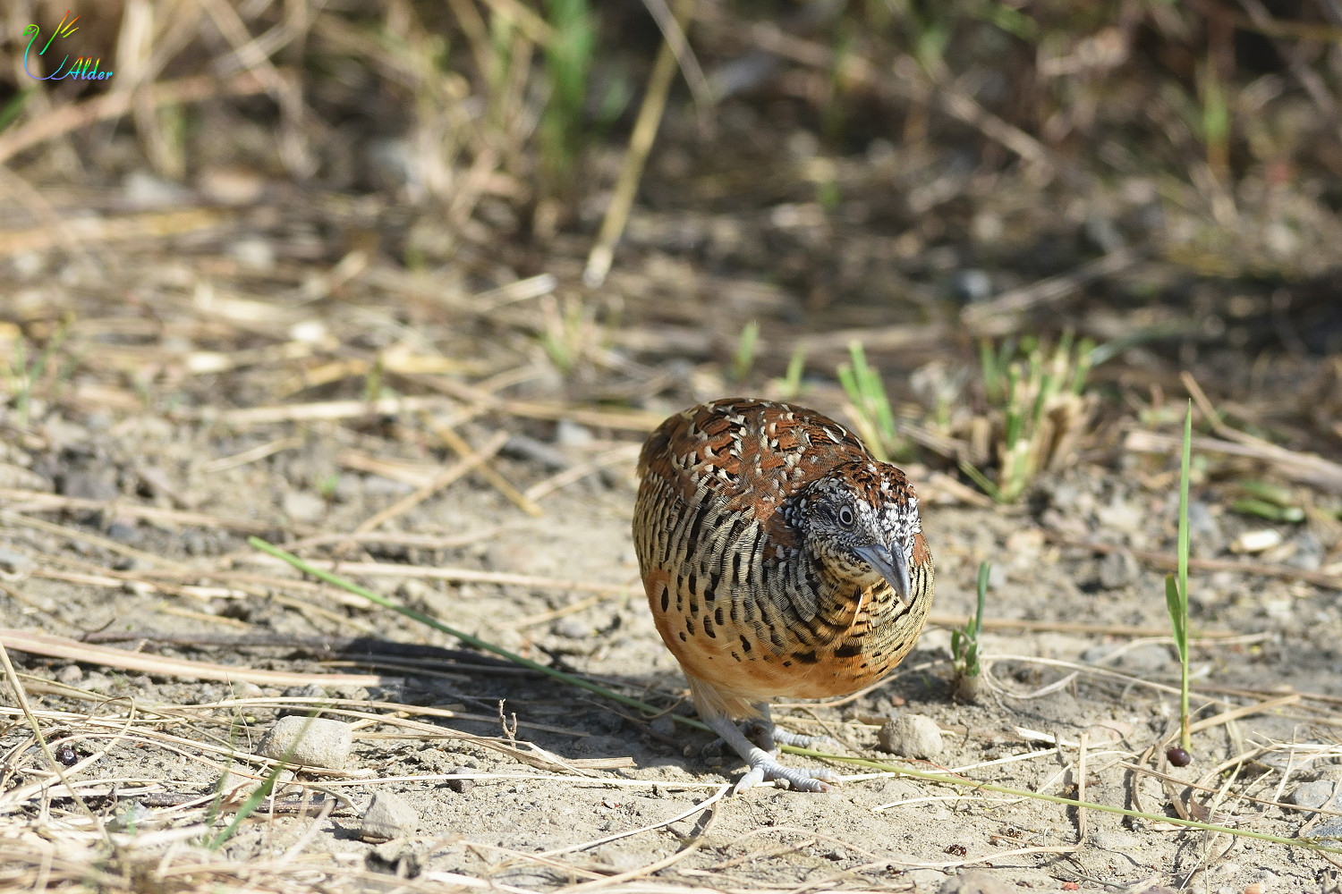 Barred_Buttonquail_2471