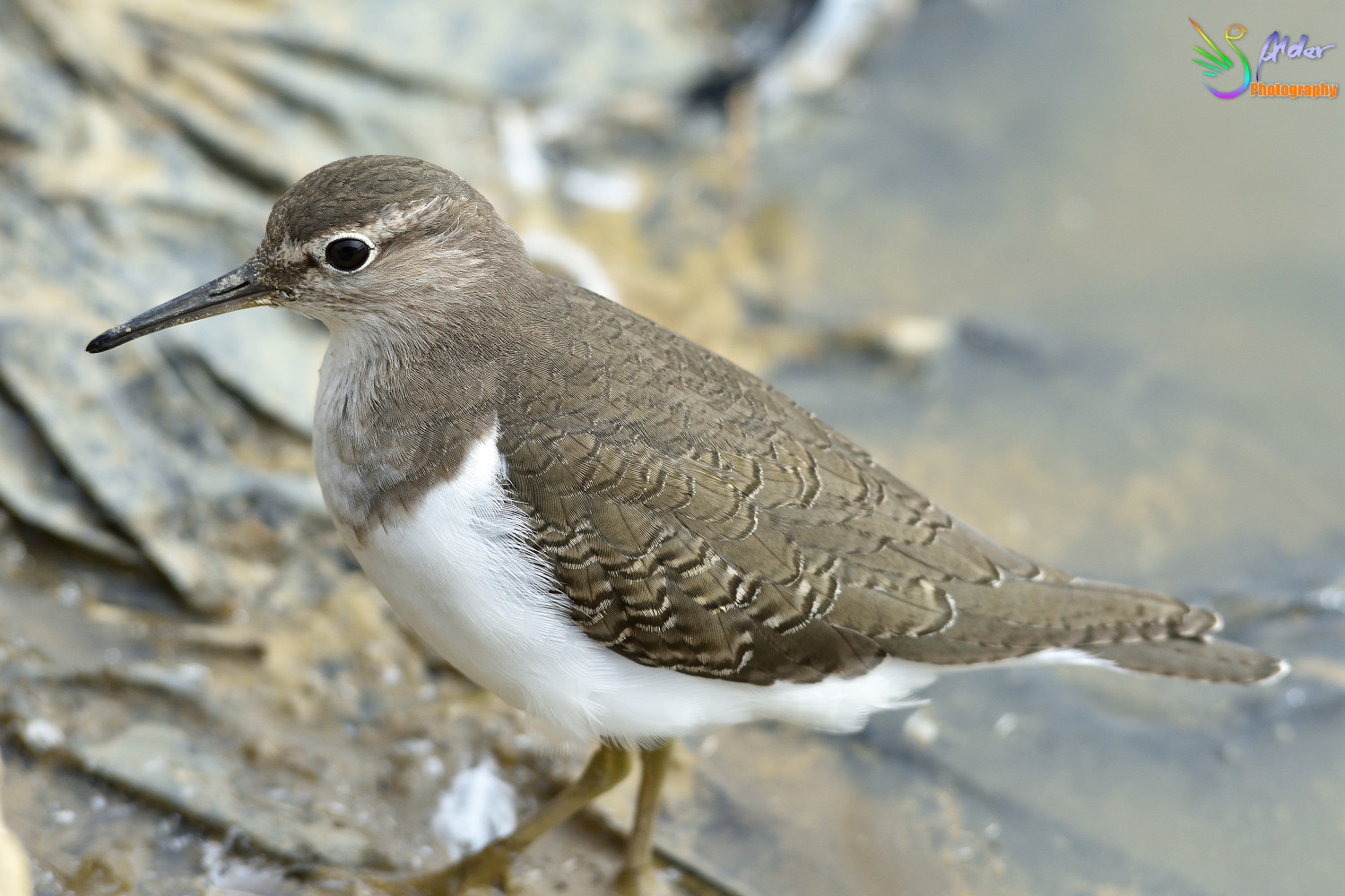 Common_Sandpiper_2790