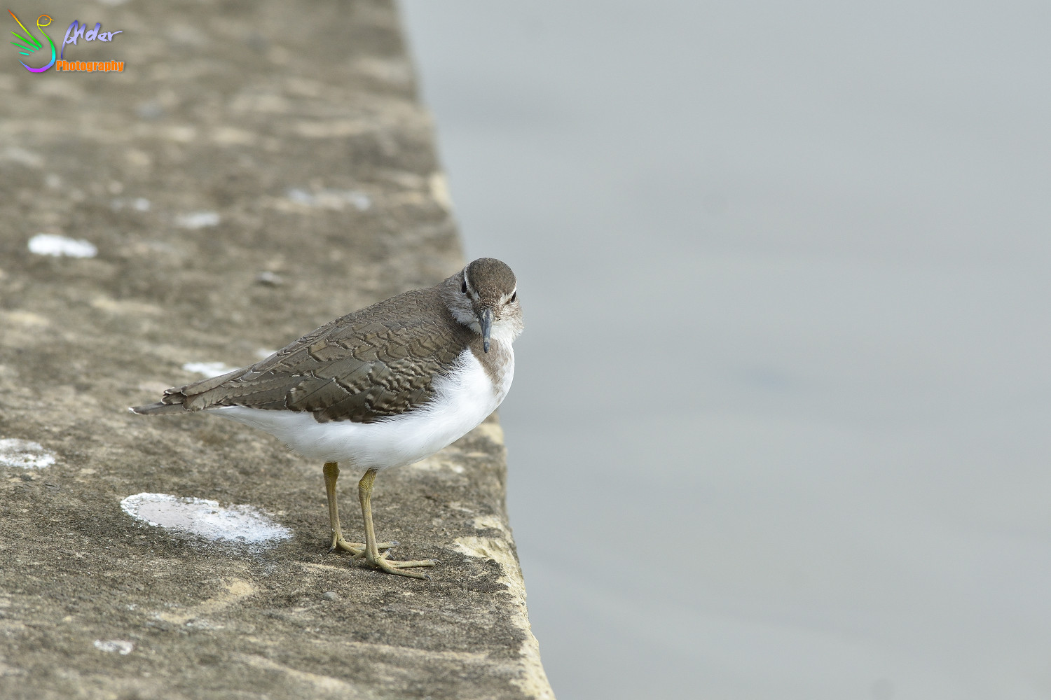 Common_Sandpiper_2647
