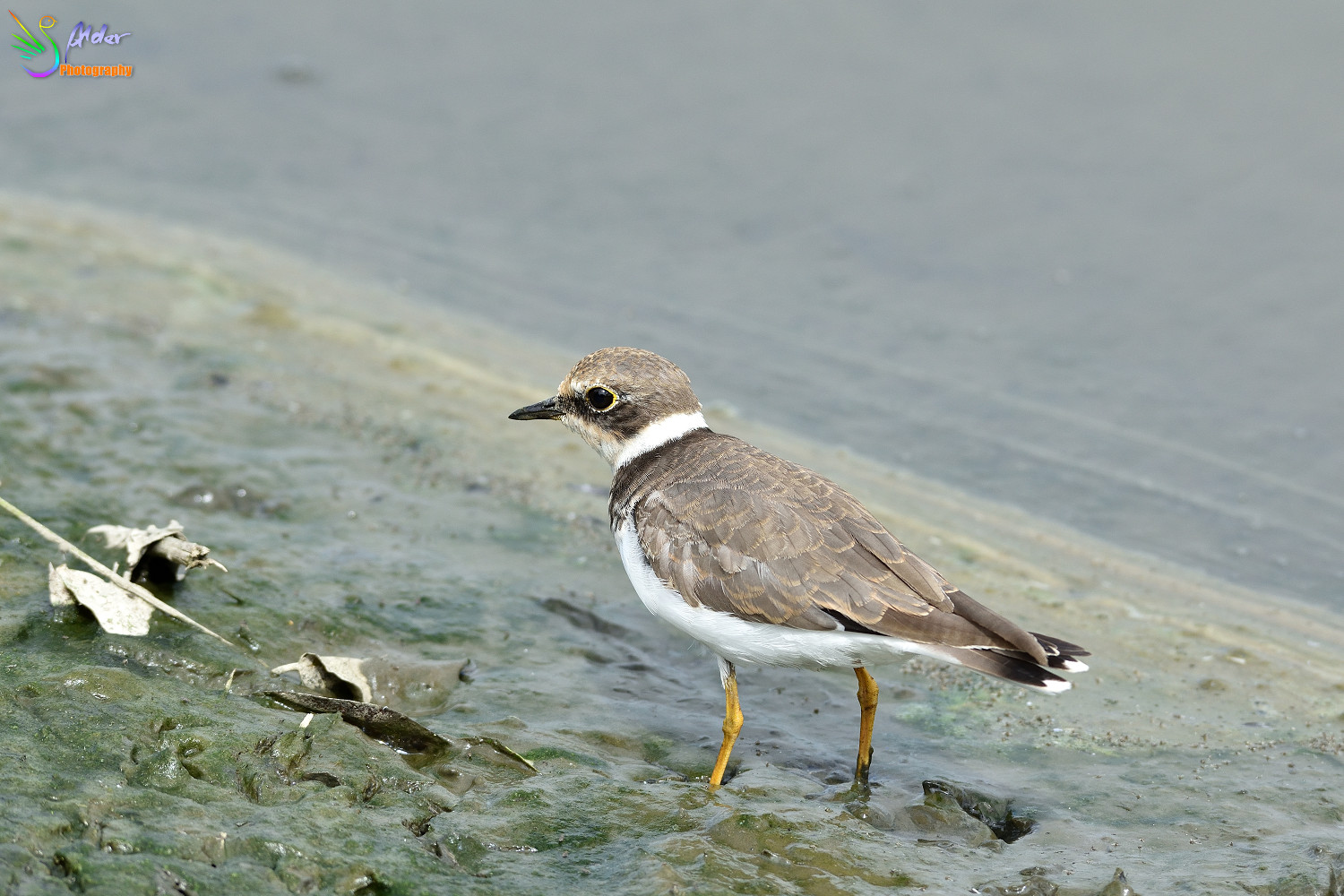 Little_Ringed_Plover_3182