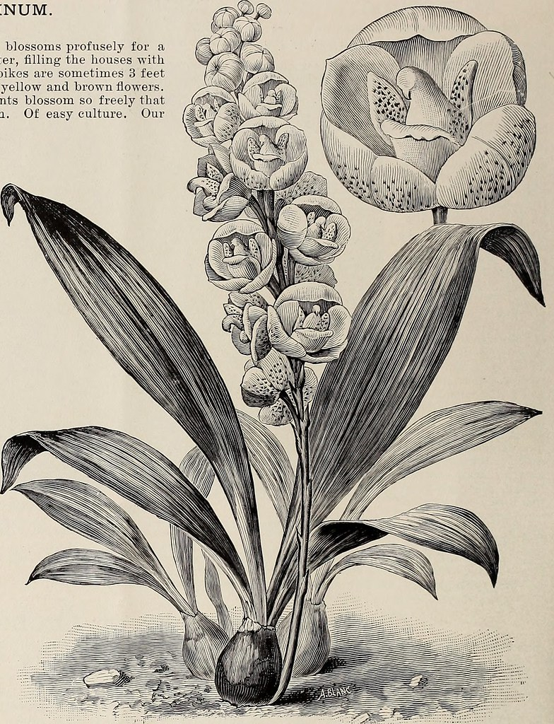 Image from page 23 of new rare and beautiful plants 19 flickr image from page 23 of new rare and beautiful plants 1900 izmirmasajfo
