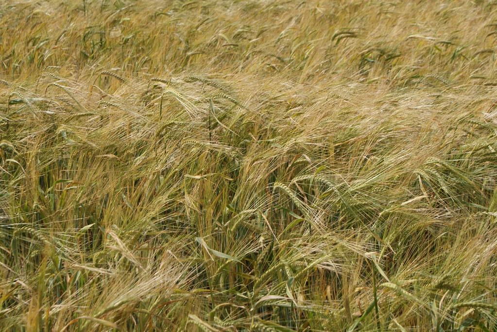 Les champs de blé semblent sans fin.